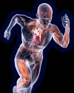 immagine che evidenzia i vari muscoli